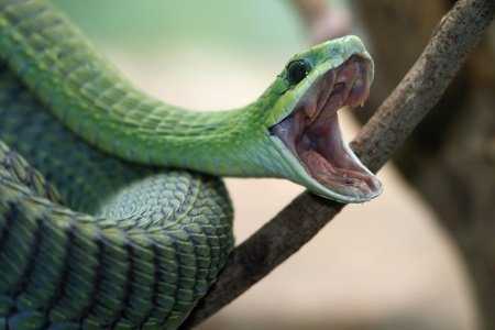 Dispholidus typus - Boomslang