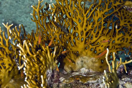 Corallo di fuoco - Millepora dichotoma