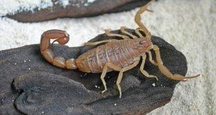 Scorpione rosso indiano - Hottentotta tamulus