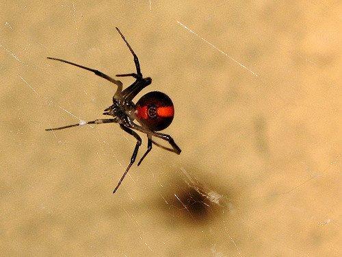 Ragno dal dorso rosso - Latrodectus hasseltii