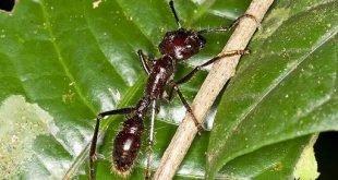 Formica proiettile - Paraponera clavata