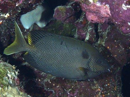 Pesce coniglio - Siganus stellatus