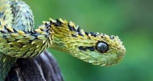 Atheris hispida - Vipera cespugliata
