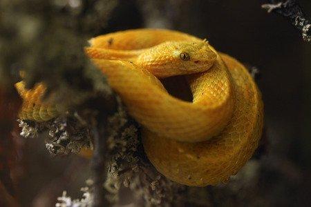 Vipera dalle ciglia - Bothriechis schlegelii