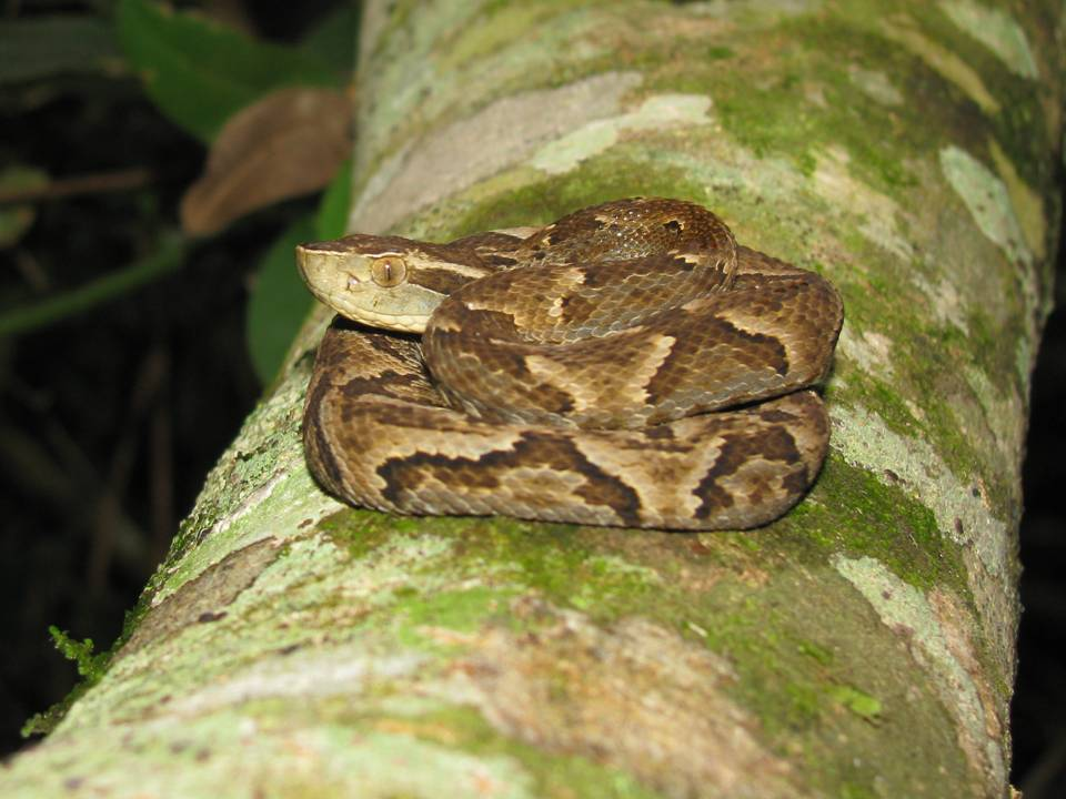 Bothrops jararaca - Serpente jararaca