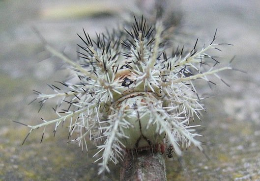 Lonomia obliqua - Bruco assassino