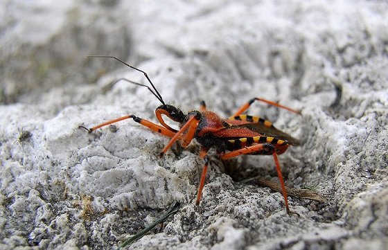 Cimice assassina - Rhynocoris Iracundus