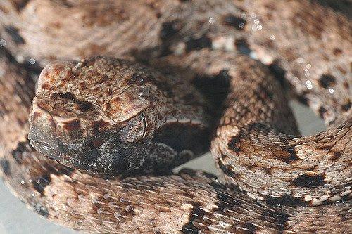 Bothrops atrox - Serpente ferro di lancia