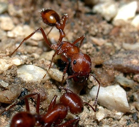 Formica mietitrice - Pogonomyrmex maricopa