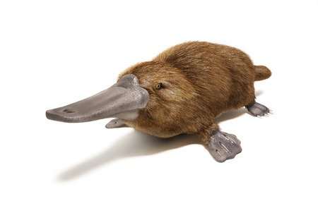 Ornitorinco - Ornithorhynchus anatinus