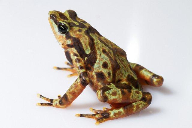 Rana pagliaccio - Atelopus varius