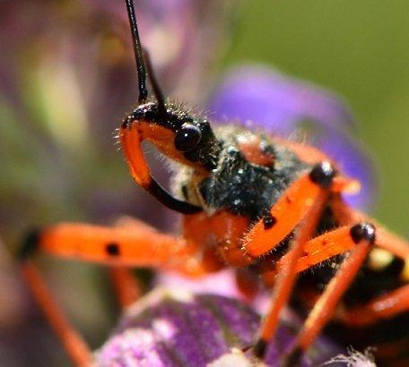 Cimice assassina - Rhynocoris Iracundus