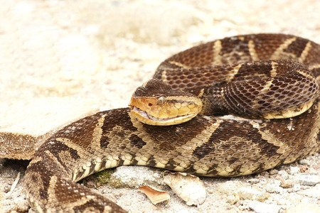 Bothrops asper - Serpente terciopelo
