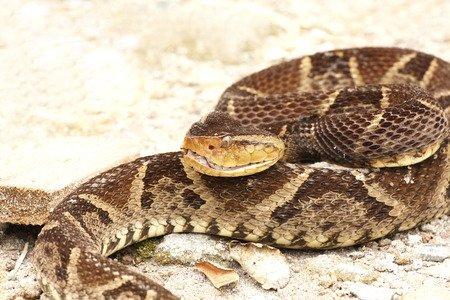 Leggi la notizia di misterloto su https://www.animali-velenosi.it/serpenti/serpente-terciopelo/
