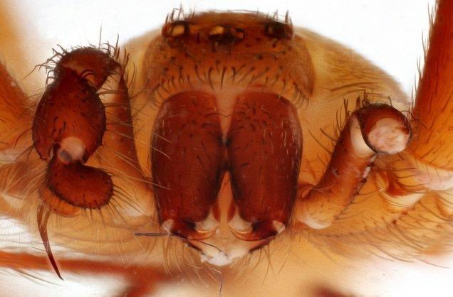 Ragno eremita marrone - Loxosceles reclusa
