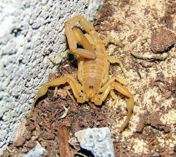 Scorpione della corteccia - Centruroides sculpturatus