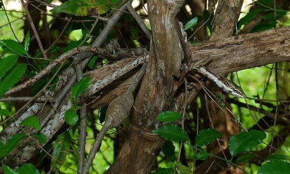 Serpente ramoscello - Thelotornis capensis