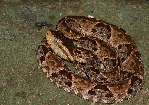 Bothrops asper - Serpente terciopelo