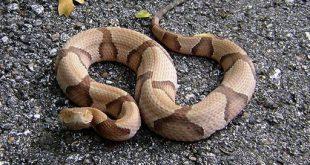 Serpente testa di rame - Agkistrodon contortrix