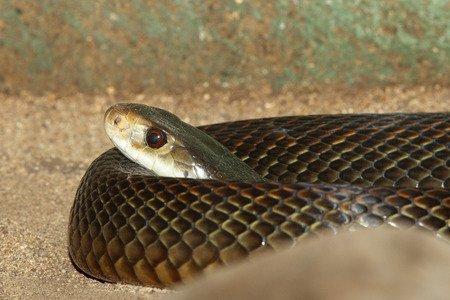 Leggi la notizia di misterloto su https://www.animali-velenosi.it/serpenti/taipan-della-costa/