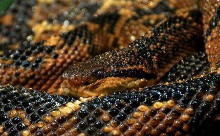 Leggi la notizia di misterloto su https://www.animali-velenosi.it/serpenti/terrore-dei-boschi-lachesis-muta/