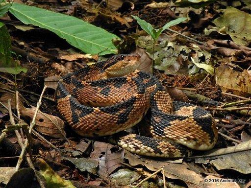 Serpente terrore dei boschi - Lachesis muta