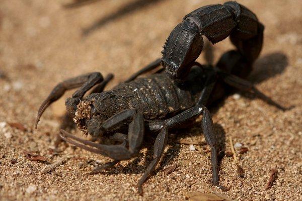 Fat-tailed scorpion - Androctonus crassicauda