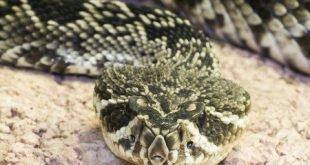 Serpente a Sonagli - Crotalus adamanteus