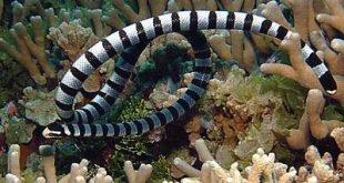 Faint-banded sea snake - Hydrophis belcheri