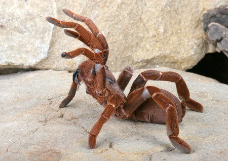 King baboon tarantula - Pelinobius muticus