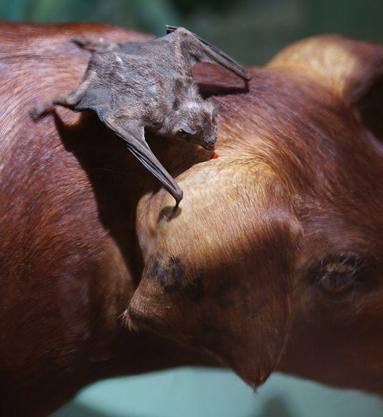 Pipistrello vampiro - Desmodus rotundus