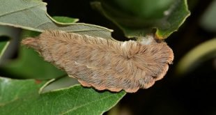 Megalopyge opercularis - Southern flannel moth