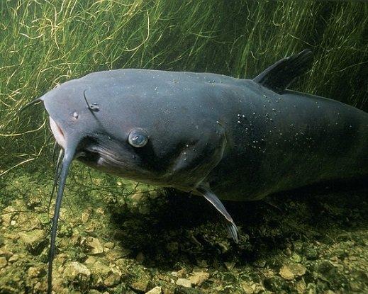 Pesce gatto nero - Ameiurus melas