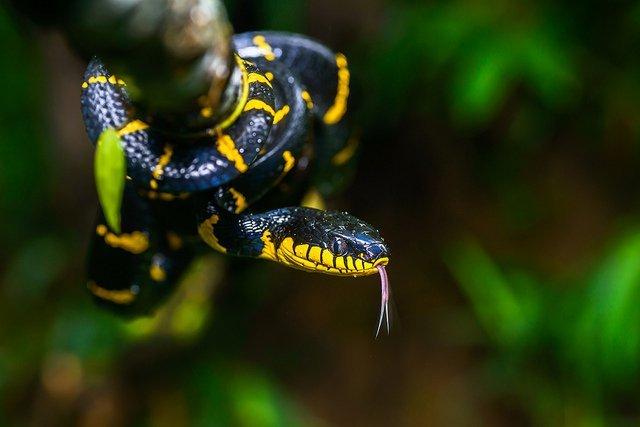 Serpente delle mangrovie - Boiga dendrophila