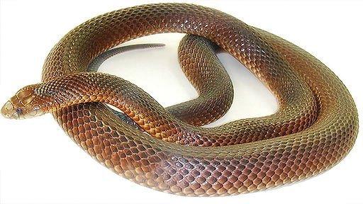 Serpente bruno reale - Pseudechis australis