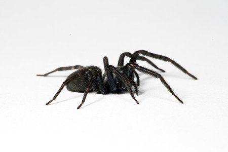 Leggi la notizia di misterloto su https://www.animali-velenosi.it/ragni/black-house-spider/