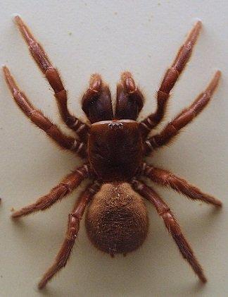 Ragno della Ragnatela ad Imbuto del Nord - Hadronyche formidabilis