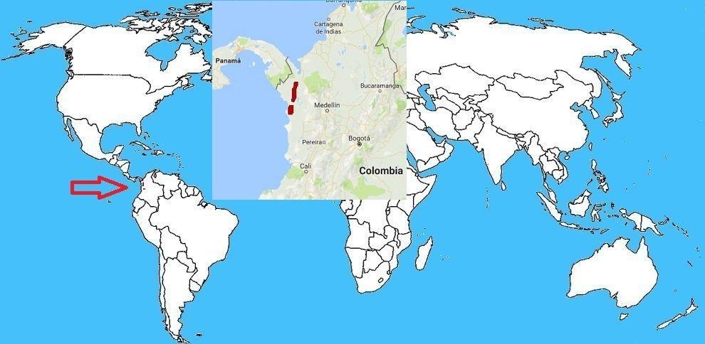 Rana dardo bicolore - Phyllobates bicolor
