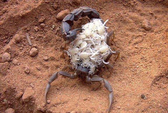 Parabuthus transvaalicus – Scorpione del Transvaal