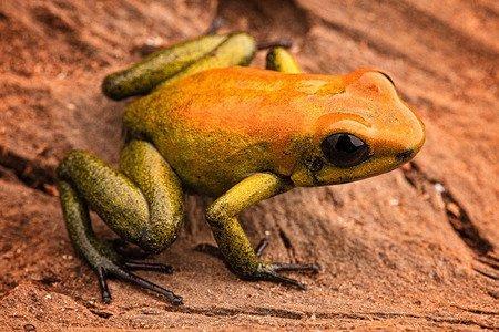 Leggi la notizia di misterloto su https://www.animali-velenosi.it/rane/rana-dardo-bicolore/