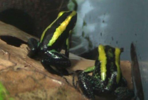 Rana dardo kokoe - Phyllobates aurotaenia