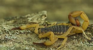 Scorpione giallo brasiliano - Tityus serrulatus