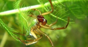 Ragno palombaro - Argyroneta aquatica