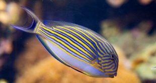 Pesce chirurgo striato - Acanthurus lineatus