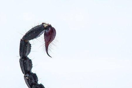 Pungiglione Heterometrus spinifer - Scorpone della foresta malese