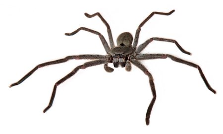 Ragno cacciatore - Sparassidae