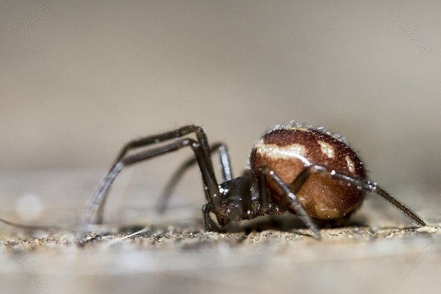 Steatoda grossa - Cupboard spider