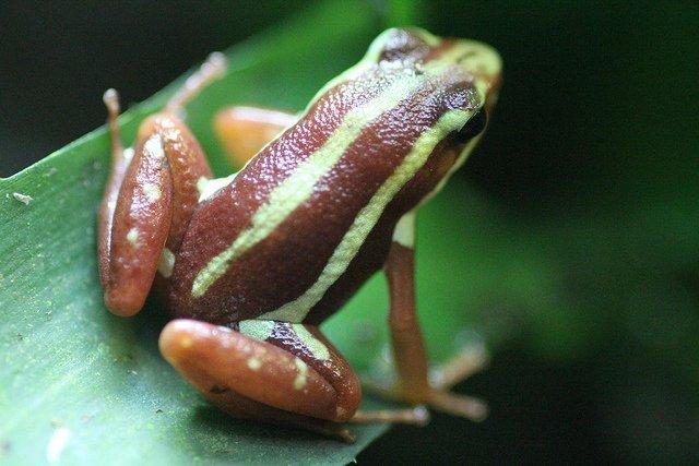 Epipedobates tricolor - Raba dal veleno fantasma