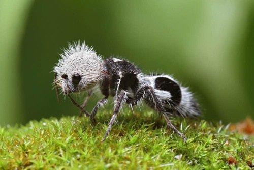 Leggi la notizia di misterloto su https://www.animali-velenosi.it/insetti/formica-panda-euspinolia-militaris/