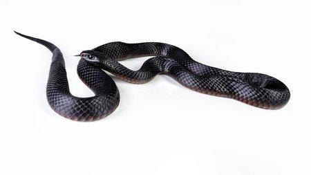 Pseudechis porphyriacus - Serpente nero dal ventre rosso